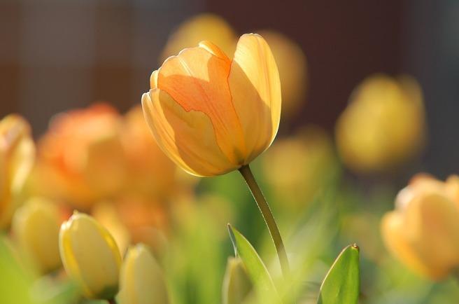 tulip-690320_960_720.jpg