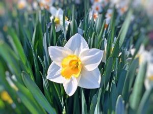 daffodil-749455_960_720